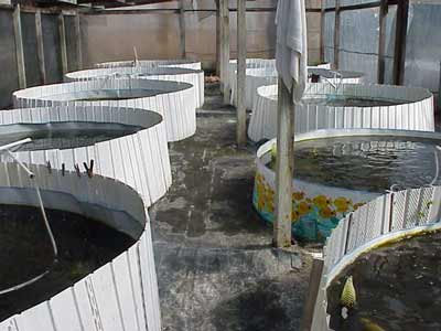 Live fish for sale aquaponics waters sistem for Aquaponics fish for sale